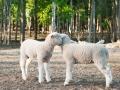 Lamb Secrets