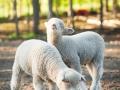 Lamb faces